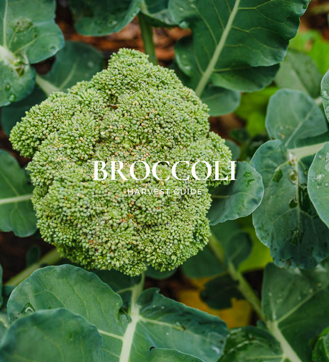 how to harvest broccoli