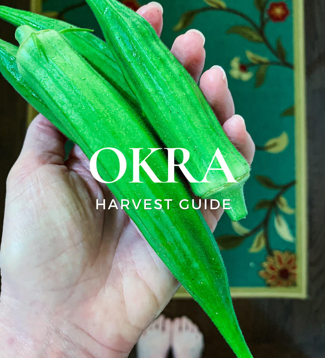 when to pick okra