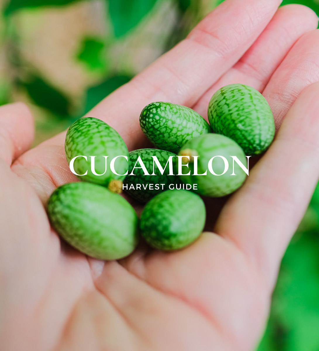 When to Pick Cucamelons