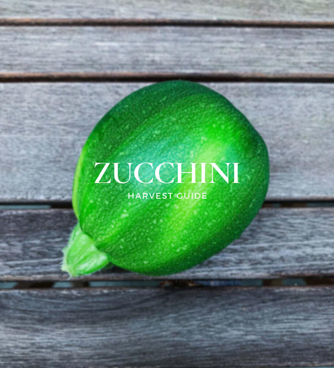 when to pick zucchini