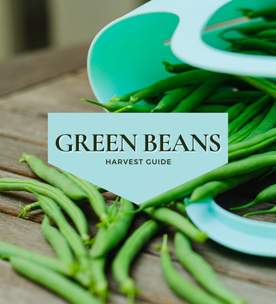 when to pick green beans