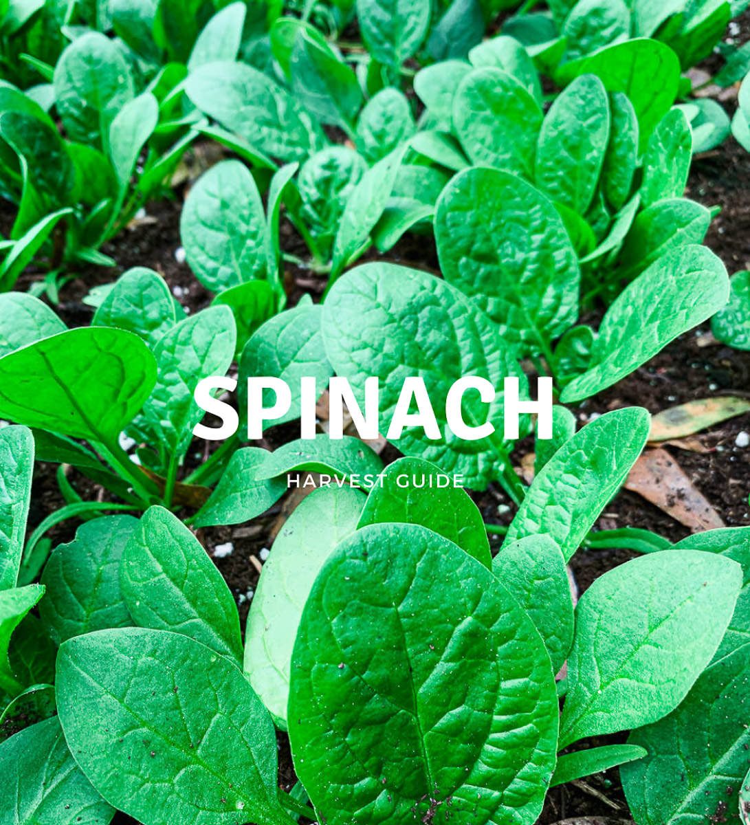 when to harvest spinach
