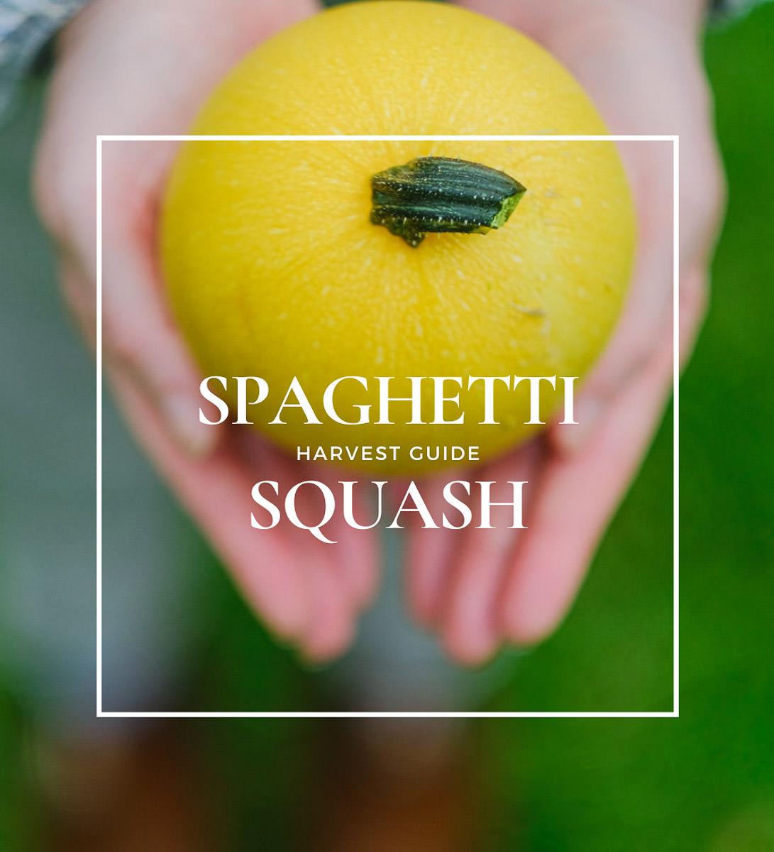 when to pick spaghetti squash