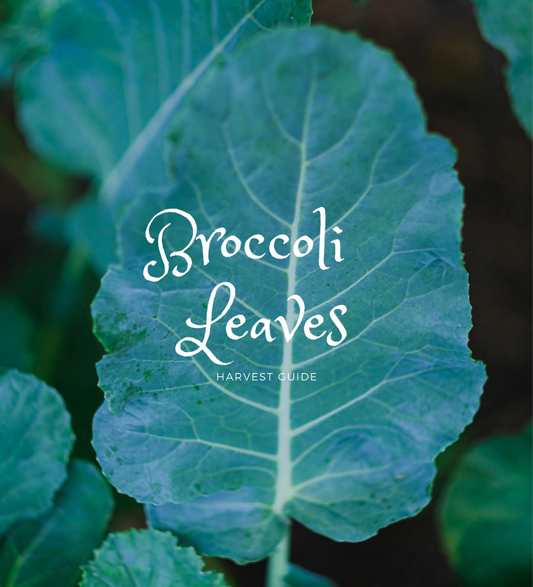 when to harvest broccoli leaves