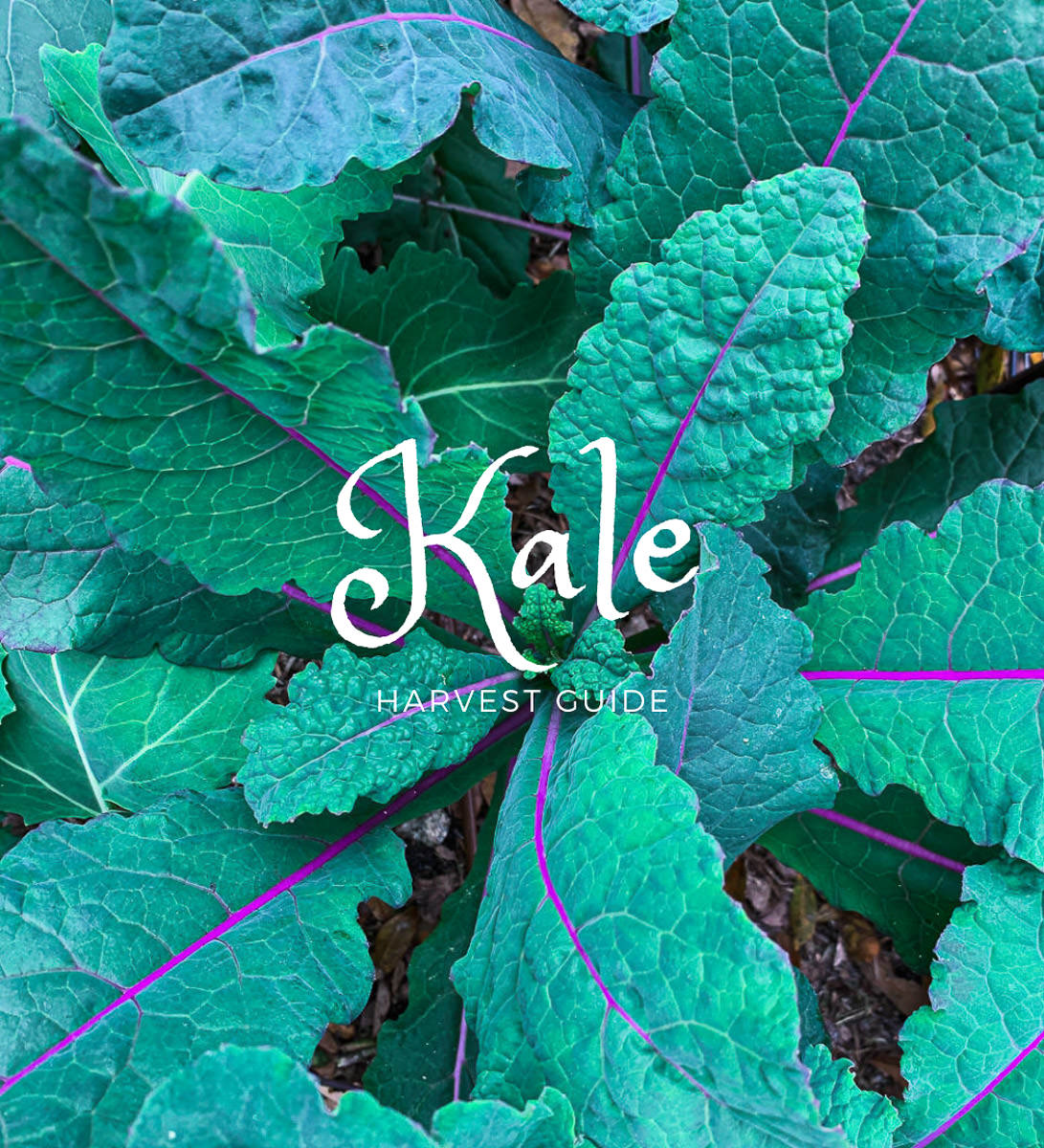 when to harvest kale