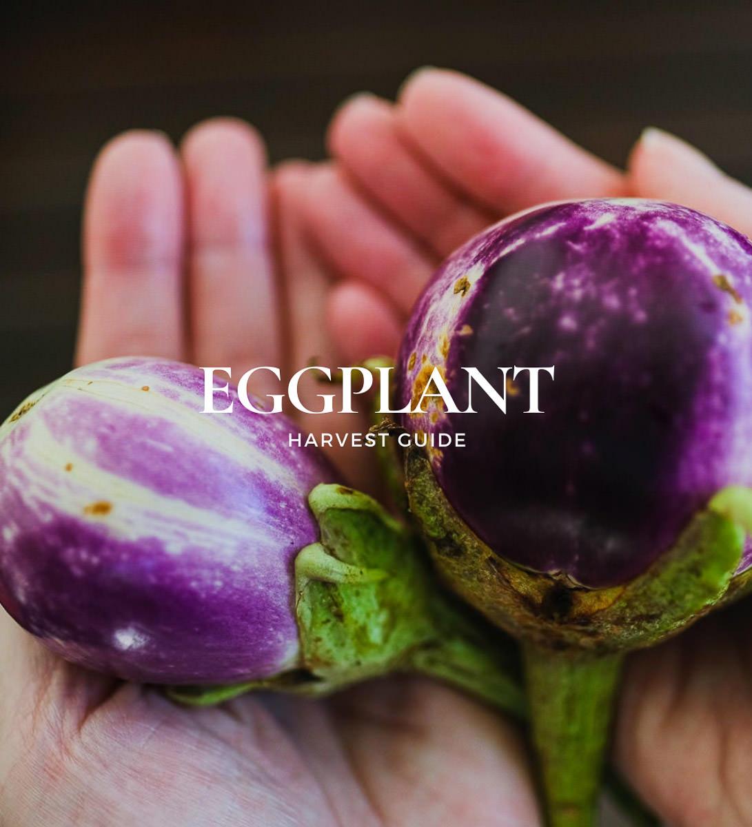 when are eggplants in season