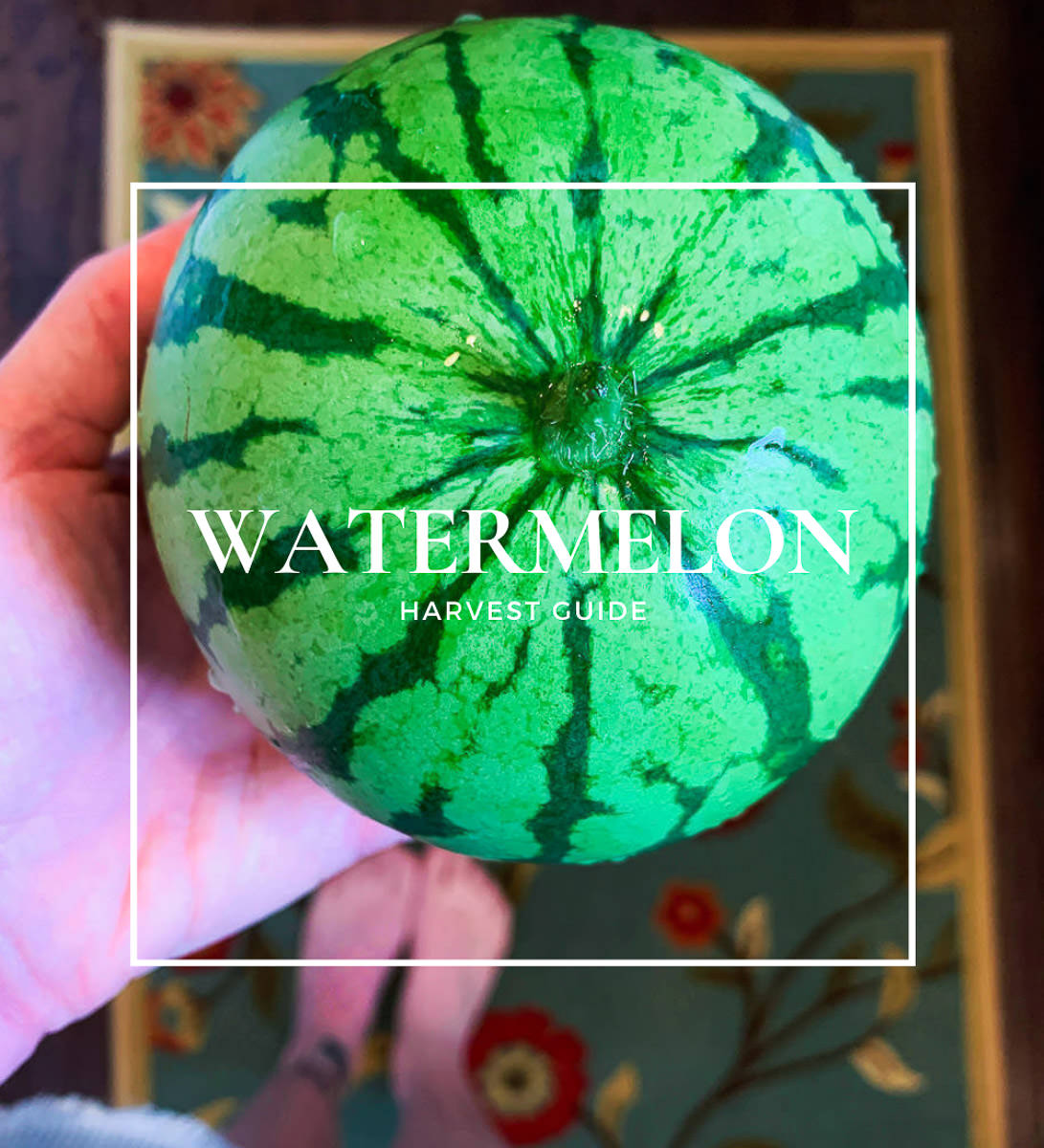 when to pick watermelon